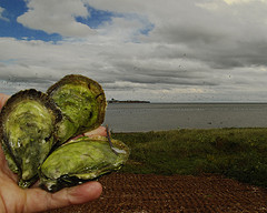 The surreal greens of Colville Bay oysters, looking over the red dirt of PEI to their home in the Souris River, as captured by Brian Kingzett