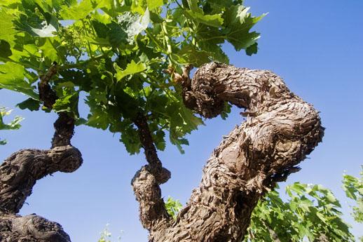Gravonia vines